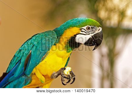 A close shot of a blue and yellow Macaw while eating popcorn