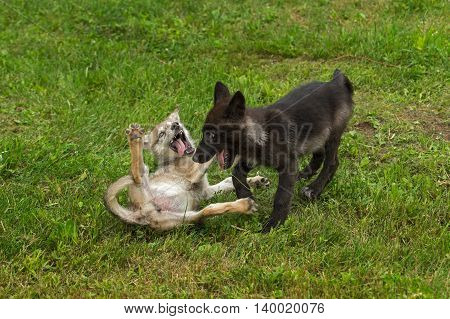 Two Grey Wolf Pups (Canis lupus) Play - captive animals