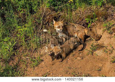 Red Fox Kits and Vixen (Vulpes vulpes) at Den - captive animals
