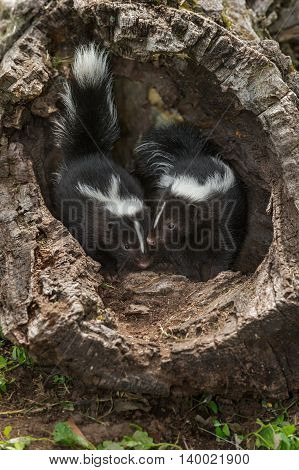 Two Baby Striped Skunks (Mephitis mephitis) - captive animals