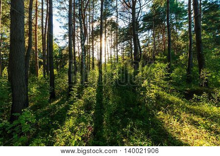 Scene Of Beautiful Sunset At Summer Pine Forest With Trees And Grass