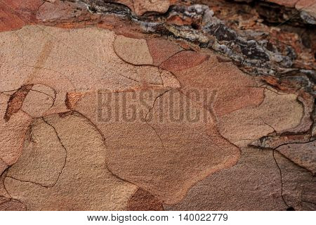 Bark Of Pine Tree Texture. Old Wood Background For Design.