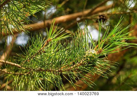 Young pine green cones in the forest at summer season
