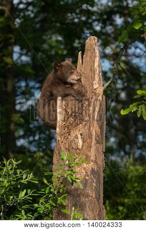 Black Bear Cub (Ursus americanus) Clings to Tree - captive animal