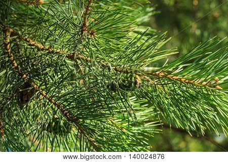 Young Pine Green Cones In The Forest
