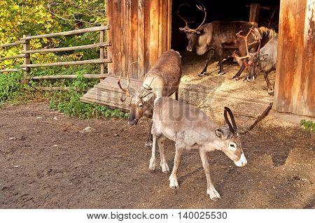 Nice reindeer in famous Skansen, Stockholm, Sweden