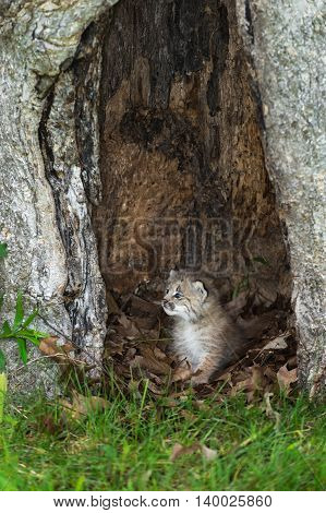 Canada Lynx (Lynx canadensis) Kitten Sits in Hollow Tree - captive animal