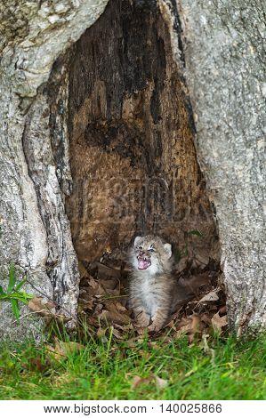 Canada Lynx (Lynx canadensis) Kitten Cries - captive animal