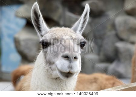 Head Of Lama