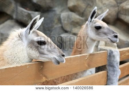 Two Lama In Zoo