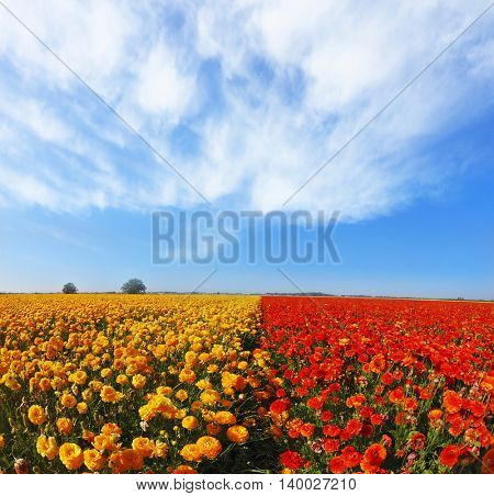 Kibbutz huge flower fields. Blooming red and yellow buttercups in spring in Israel