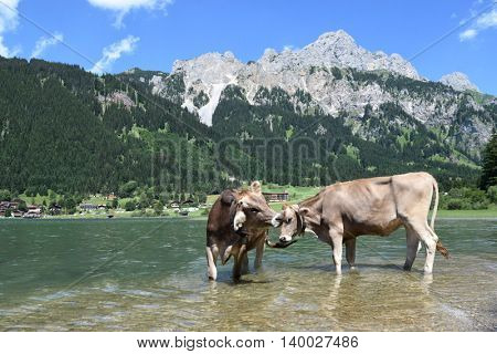 Cows at the lake in Austria Alps