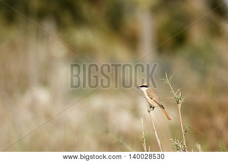 Long-tailed Shrike or Lanius Schach in a farm in Bahrain