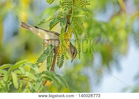 A Willow Warbler in a garden in Bahrain