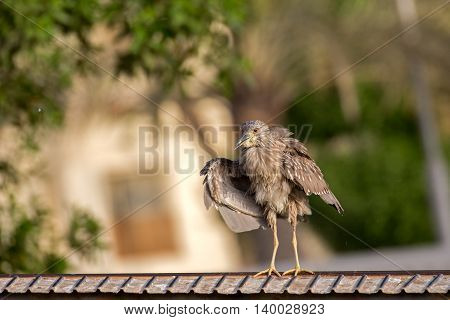 A Juvenile Black-crowned Night Heron sitting on a roller coaster rail in a park in Bahrain