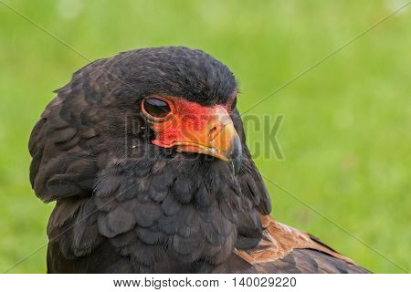 Portrait of a Bateleur Eagle, front view