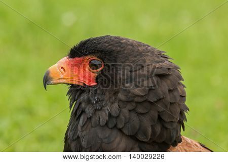 Portrait of a Bateleur Eagle, side on
