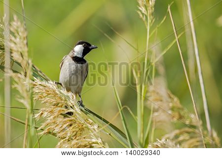 A White-eared Bulbul or Pycnonotus Leucotis in a farm in Bahrain