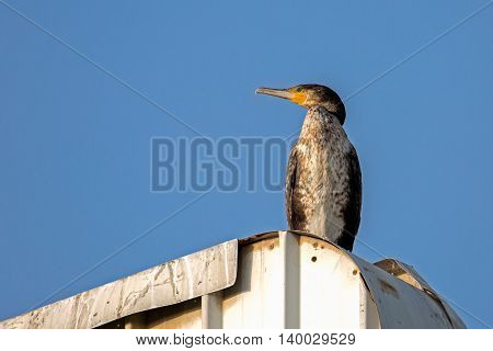 Great Cormorant sitting on top of an advertisement board in Bahrain