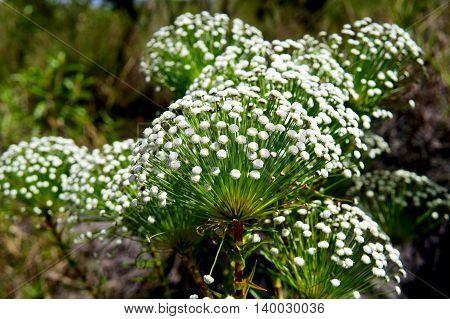 Native flower from Brazil. Chapada diamantina (sempre-viva)