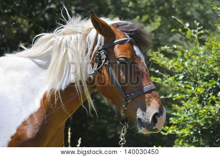 Head of brown and white horse in a forest.