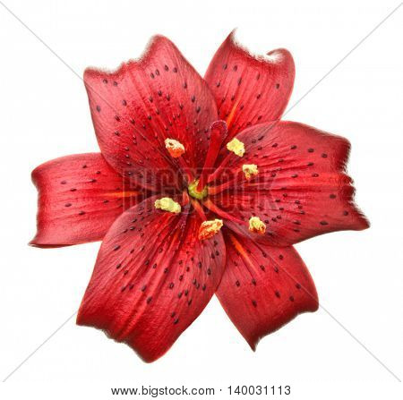 lilium flower on white background