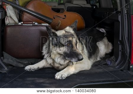 A shepherd dog guarding the personal effects lying in a car trunk concept of safety while travel. Outdoor filtered cropped shot