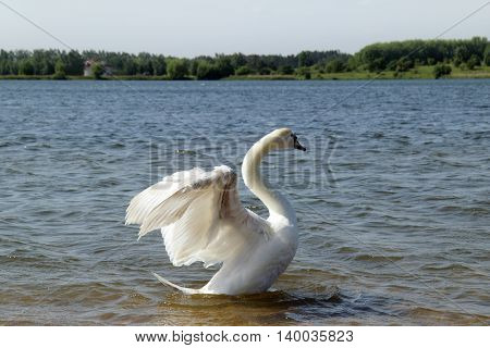 bird the floating on the lake and gracefully spreading its wings / white swan