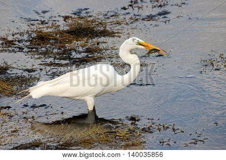 A great egret (Ardea alba) with a fish