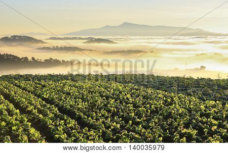 Amazing view of vegetable farm on top of mountain in foggy sunlight morning