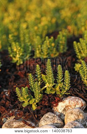 Honckenya peploides or sea sandwort growing on bladder wrack near the shore of the Baltic Sea in Archipelago national park in Finland.