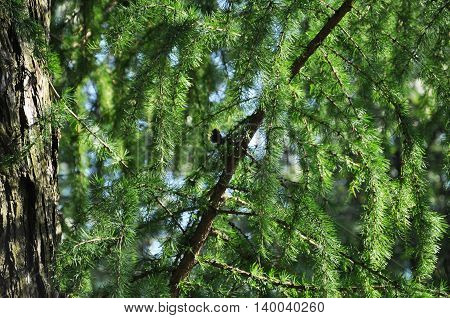 background of the branches of larch in the sunlight