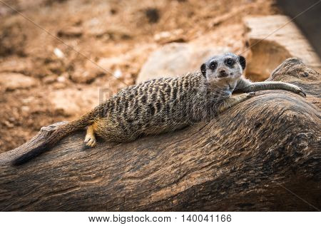 Portrait Of A Young Meerkat Lying On A Log