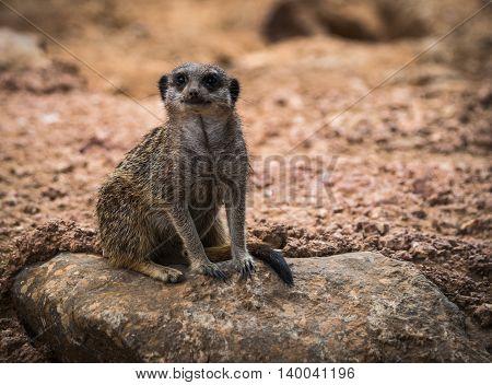 Portrait Of Little Meerkat Sitting On A Rock