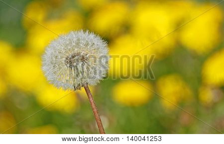 Dandelion with seeds against field with yellow dandelions (Taraxacum) in Finland.