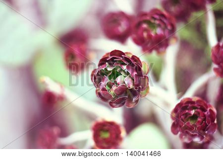 Pink or purple succulent plant with selective focus and copy space. Aeonium or desert plant, close-up shot.