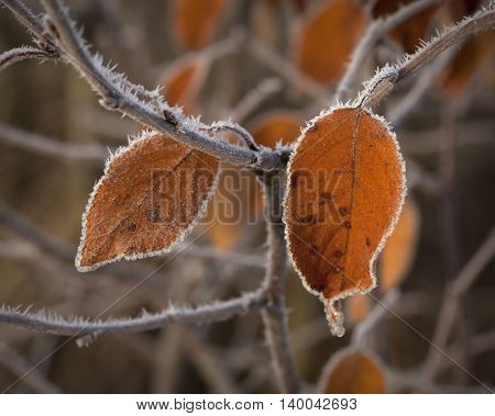 Autumn branches with hoar frost and cobwebs in the rays of the rising sun