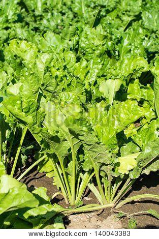 beet growing in the field culture, farm