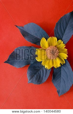 Photo of yellow flower laying on blue leafs on red crimson background.