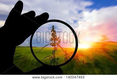 field with cannabis at sunset. marijuana bush