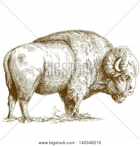 Vector antique engraving illustration of bison isolated on white background