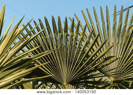 close up of fan palm leaves with copy space