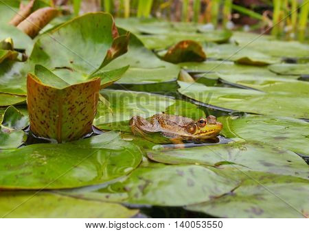 A frog resting among the green lily pads in a pond.