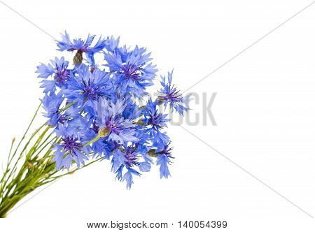 knapweed flower  bluett on a white background