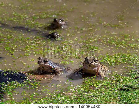 Group of vommon brown frogs mating in the pond