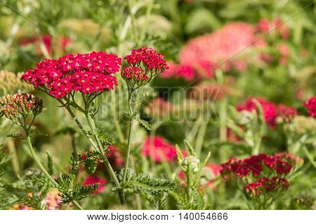 detail of red common yarrow flowers in bloom