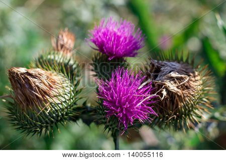Saint-Mary-thistle purple flowers and thorns close view