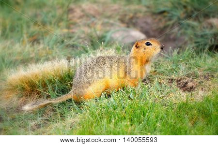 Ground squirrel with head lifted up on grass