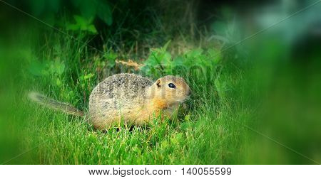 Ground squirrel in the green grass outside