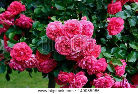 Flowers of beautiful pink roses in the garden